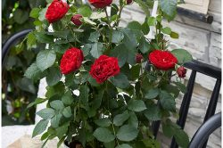 Quel est le meilleur moment pour tailler les rosiers ?